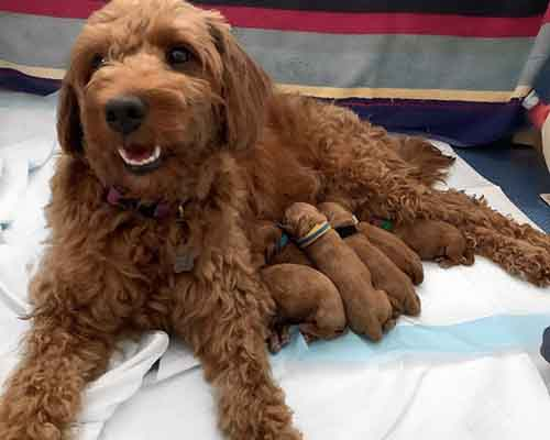 Cavoodle puppies from our cavoodle breeding male