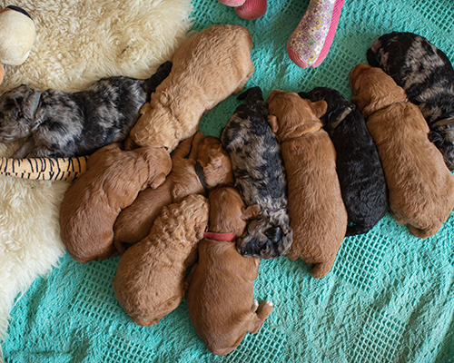 Dog breeding success determined largely by timing