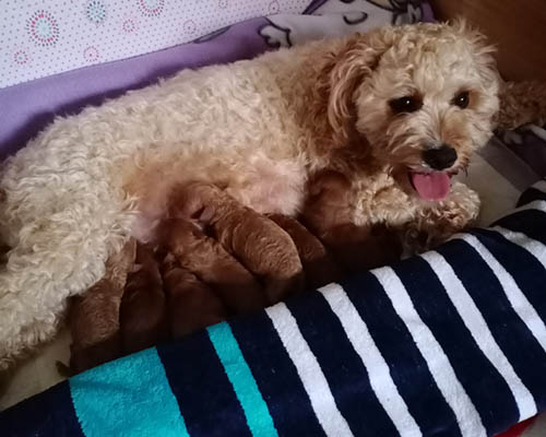 Second Generation Cavoodle Puppies