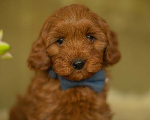 Ruby Red Cavoodle puppy sired by one of our stud dogs