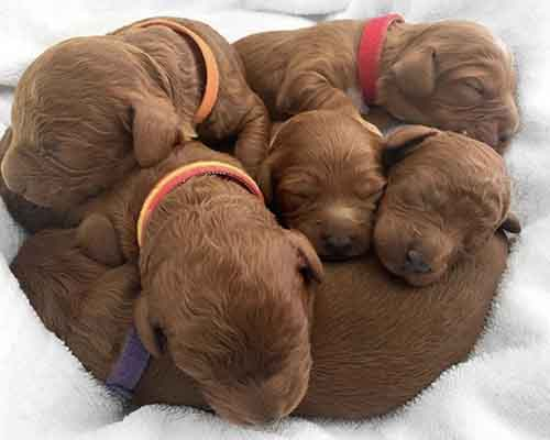6 Ruby cavoodle puppies from our cavoodle stud service