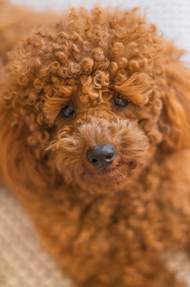 Our toy poodle stud has the sweetest temperament