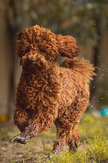 Piccolo Red toy poodle stud dog