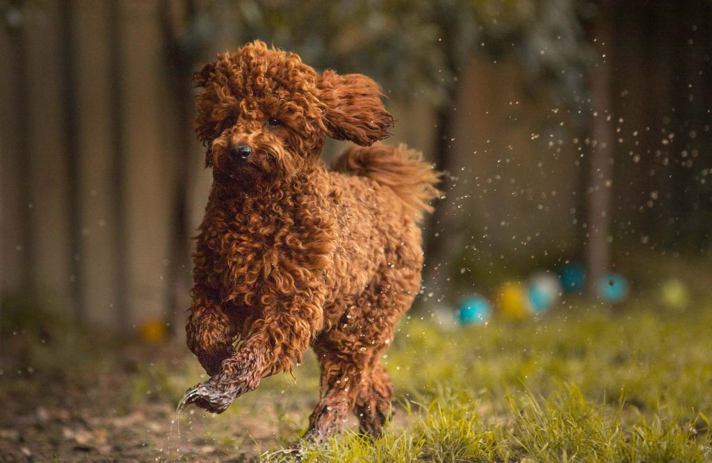 Red toy poodle stud