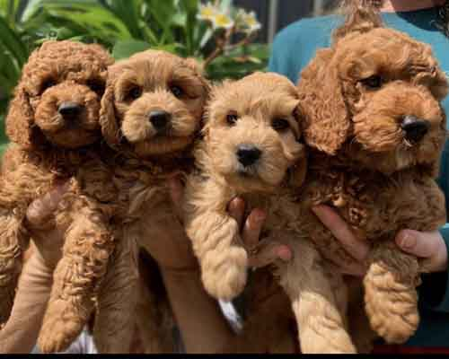 Red Cavoodle puppies from our male breeding cavoodle
